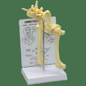 Anatomic Models, Dental, Orthopedic, Canine Hip and Lower Vertebrae