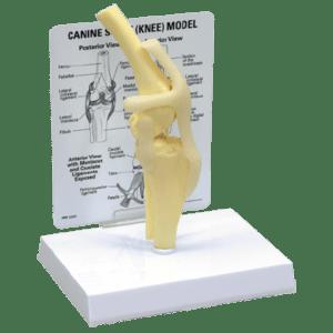 Anatomic Models, Dental, Orthopedic, Canine Stifle